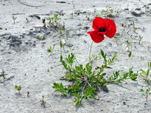 Poppy on wasteland Royalty Free Stock Photo