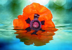 Poppy in water. One red poppy in blue water Royalty Free Stock Photo