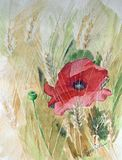 Poppy (watercolor) Stock Photography