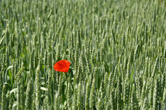 Poppy in wheat Royalty Free Stock Images