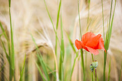 Poppy and Wheat Stock Photos
