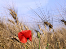 Poppy and wheat. Rural landscapes with red poppy and wheat field Royalty Free Stock Images