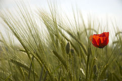 Poppy and Wheat. A lone poppy in a field of wheat Stock Image