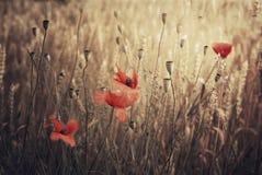 Poppy in the wheat. Red poppy flower in ripe wheat field Stock Photo