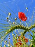 Poppy and wheat Royalty Free Stock Photos