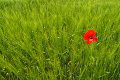 Poppy in wheat field stock images