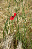 Poppy in a wheat field Stock Photography