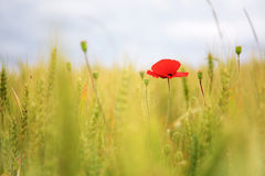 Poppy in the wheat field Stock Photo