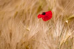 Poppy in a wheat field. Poppy isolated on a wheat field Royalty Free Stock Photo