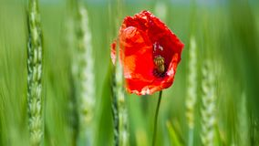 The poppy and the wheat royalty free stock photo