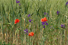 Poppy in wheat field. Poppies flowers among the ripening wheat Stock Photography