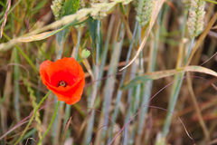 Poppy in wheat field Royalty Free Stock Images