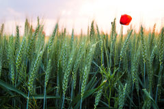 Poppy in wheat field Stock Photos