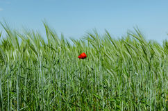 Poppy in wheat field Royalty Free Stock Photo