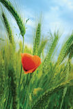 Poppy and Wheat Stock Photography