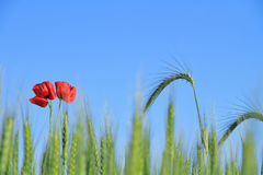 Poppy and wheat Stock Image