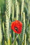 Poppy with wheat Royalty Free Stock Photography