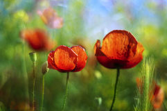 Poppy in the wheat. Red poppy flower in ripe wheat field Royalty Free Stock Image
