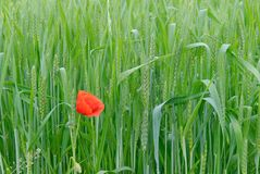 Poppy in wheat seedling field. Close-up Stock Photos
