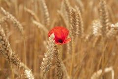 Poppy in Wheatfield Royalty Free Stock Photos