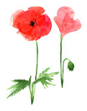 Poppy on a white background Stock Photography