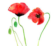 Poppy  on a white background Royalty Free Stock Photography