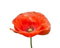 Poppy on white Royalty Free Stock Image