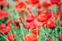 poppy wild flowers meadow Royalty Free Stock Images