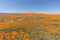 Poppy Wildflower Super Bloom Hikers fotografía de archivo libre de regalías
