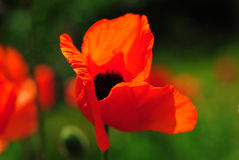 Poppy in wind Royalty Free Stock Images