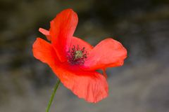 Poppy in the wind Royalty Free Stock Photo