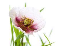 Free Poppy With Grass Isolated On White, Water Drops And Little Spide Royalty Free Stock Images - 39314409