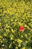 Poppy on Yellow Royalty Free Stock Photo