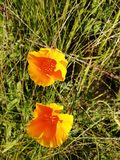 Poppy yellow. Species of wild yellow ampolas among the herbs of the field royalty free stock photos