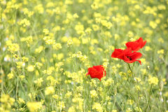Poppy and yellow wild flowers Stock Image