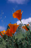 poppy, złoty Obraz Royalty Free