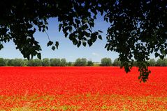 Poppyfield images stock
