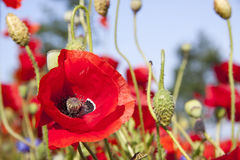 Poppyfield Royalty Free Stock Images