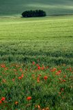 Poppyfield and copse. A red poppy field in the foreground with a wheatfield behind and a copse of trees in the cackground the sun is casting long shadows on the stock photos