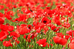 Poppyfield de floraison Image libre de droits