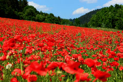 Poppyfield de florescência Fotos de Stock Royalty Free