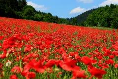 Poppyfield di fioritura Fotografie Stock Libere da Diritti