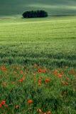 Poppyfield et taillis photos stock