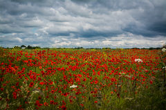 Poppyfield. Field of poppies and wild flowers in Theddlethorpe,lincolnshire Royalty Free Stock Photography