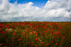 Poppyfield. Field of red poppies and wild flowers with blue sky and white clouds in summer Stock Images
