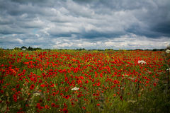 Poppyfield. A poppy field with stormy sky Royalty Free Stock Images