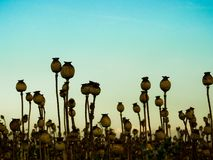 Poppyhead Royalty Free Stock Photo