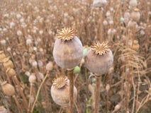 Poppyhead Stockbilder