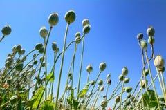 Poppyhead Stock Photo