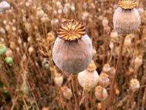 Poppyhead Stock Image